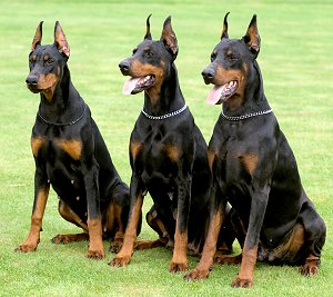 Best Guard Dogs - German Shepherd, Rottweiler, Doberman, Pit Bull ...