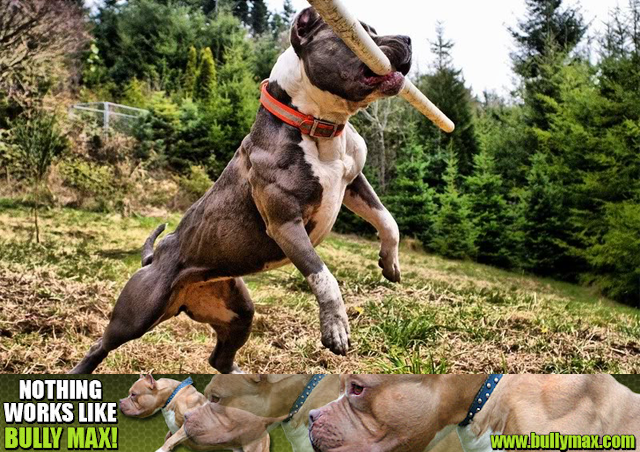 Pitbull dog muscle building