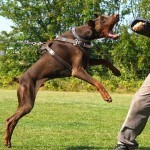 Doberman Attack Dog