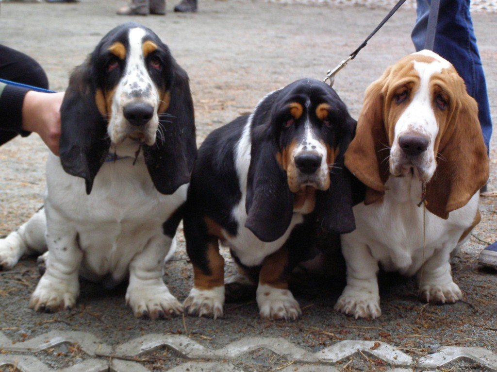 Basset Hound puppies dogs