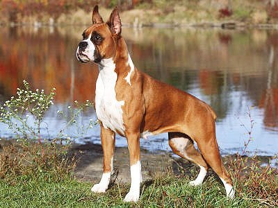 Boxer Dogs Muscle Supplements And