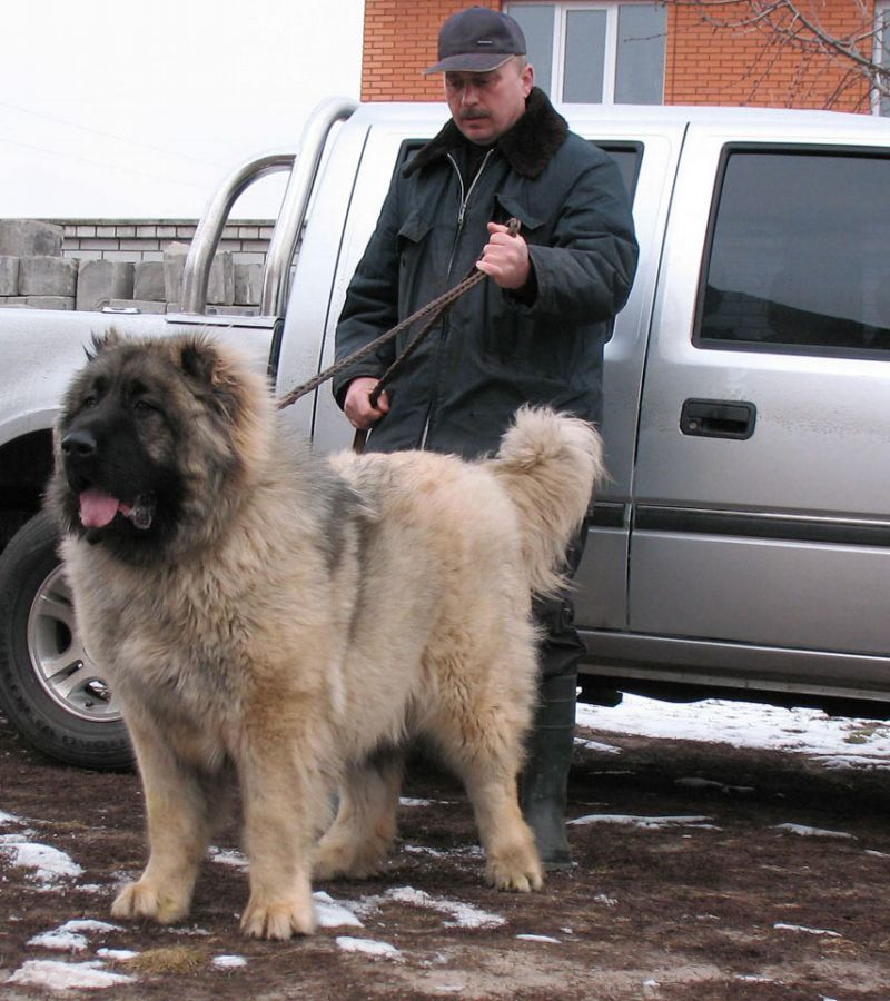 Caucasian Ovcharka Russian Prison Guard dogs