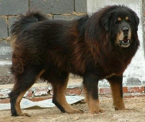 Caucasian Shepherd are used as Russian Prison Guard Dogs as well. The