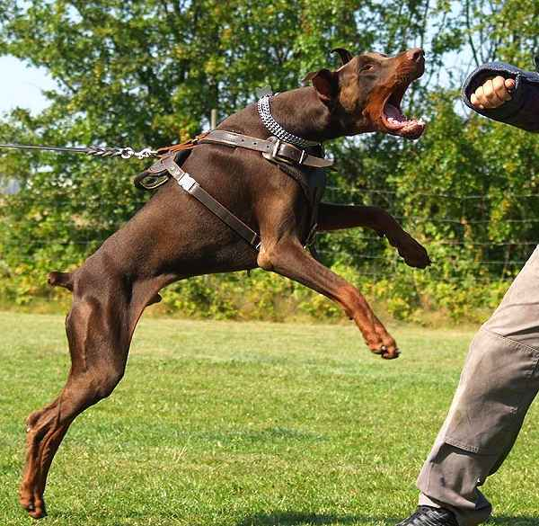 Doberman guard dog attack dog
