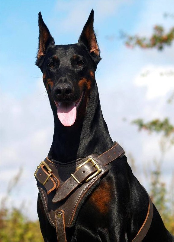 Doberman Protection Dogs