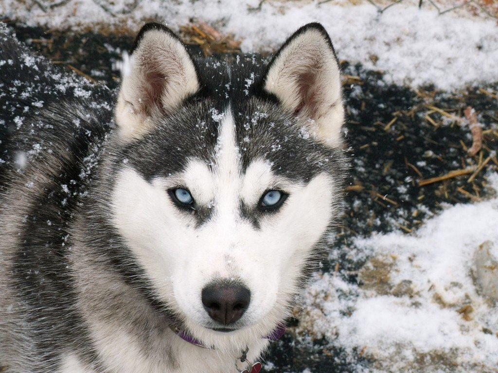 Siberian Husky dog breed blue eyes