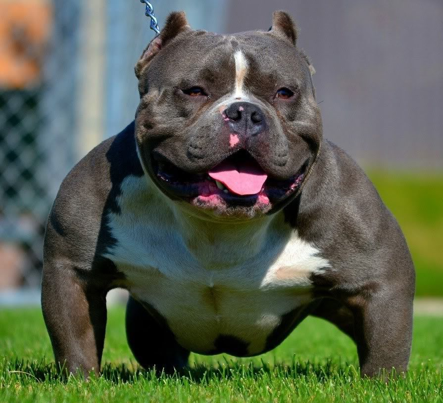 American bully bloodlines