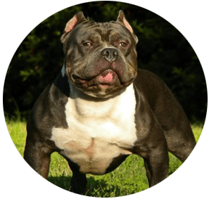american-bully-on-bullymax
