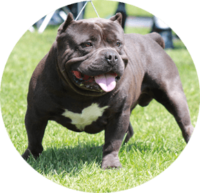american-bully-supplement-review
