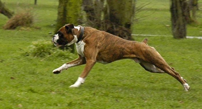 American Boxer Attack Training Session