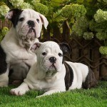 awesome_bulldog_puppy_picture