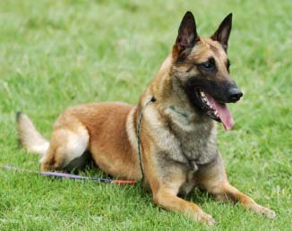 "One of the best guard dogs, the ""Belgian Malinois"""