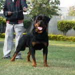 big-head-rottweiler