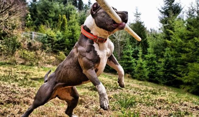 Muscle Building In Dogs and blue pitbulls