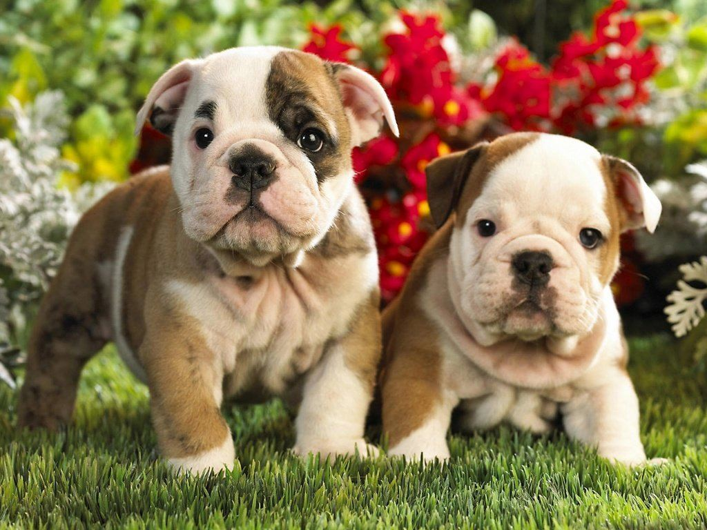 american bulldog puppy picture American Bulldog and Dog Supplements for Bulldog Puppies -