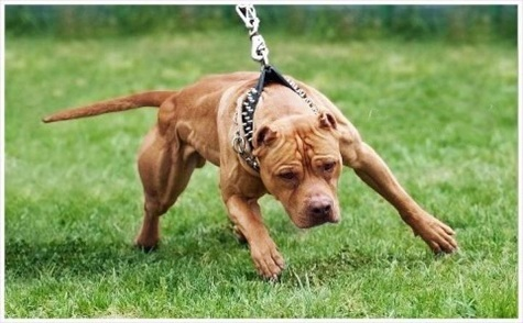 Colby Pitbull Bloodline – A well respected dog.