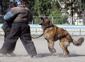 Training a protection dog (caucasion ovcharka)