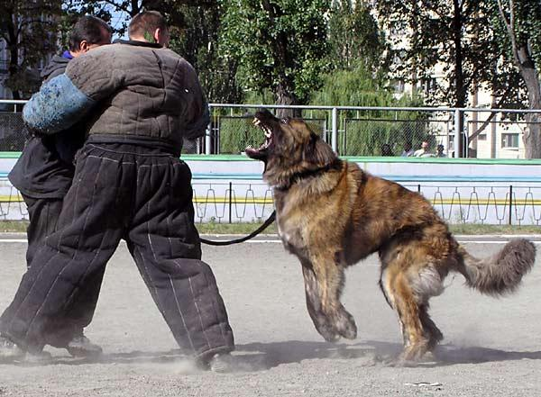 caucasion-ovcharka-guard-dog