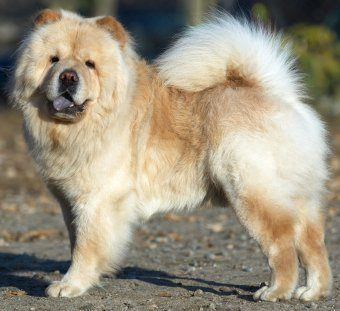 chowchow guard dogs