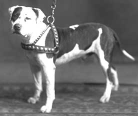 colby pit bull