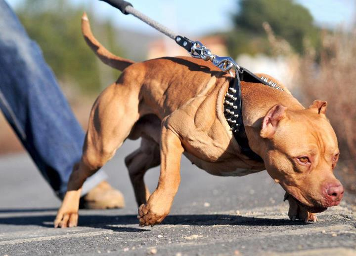 Pitbull supplements for muscle