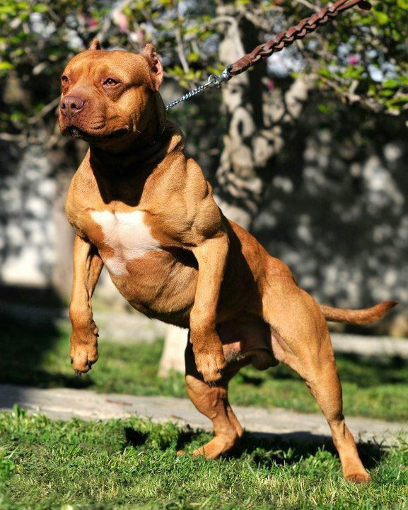 Muscles in dogs