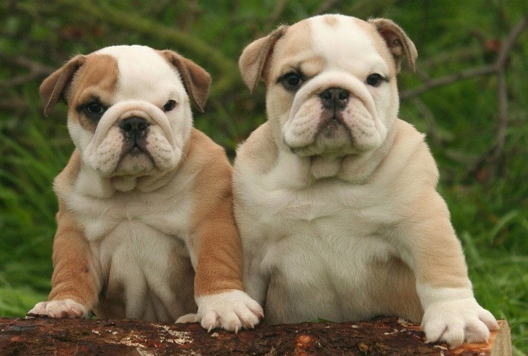 ENGLISH BULLDOG puppy pictures