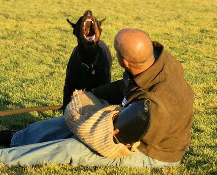 Doberman guard dog training attacking a trainer with a bite sleeve