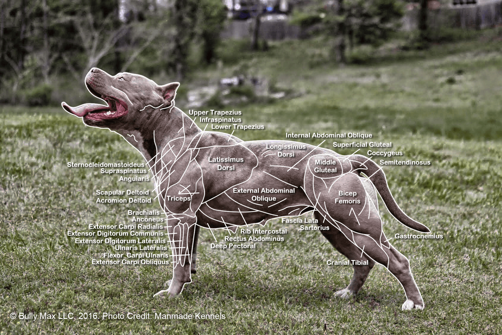 dog muscle anatomy