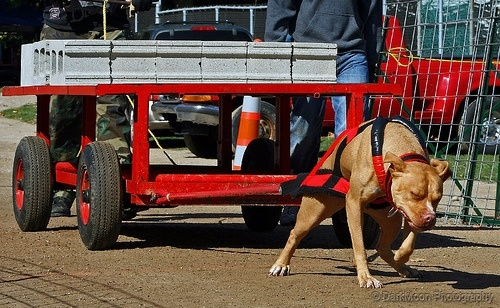 Pit Bull Weight Pulling Dog