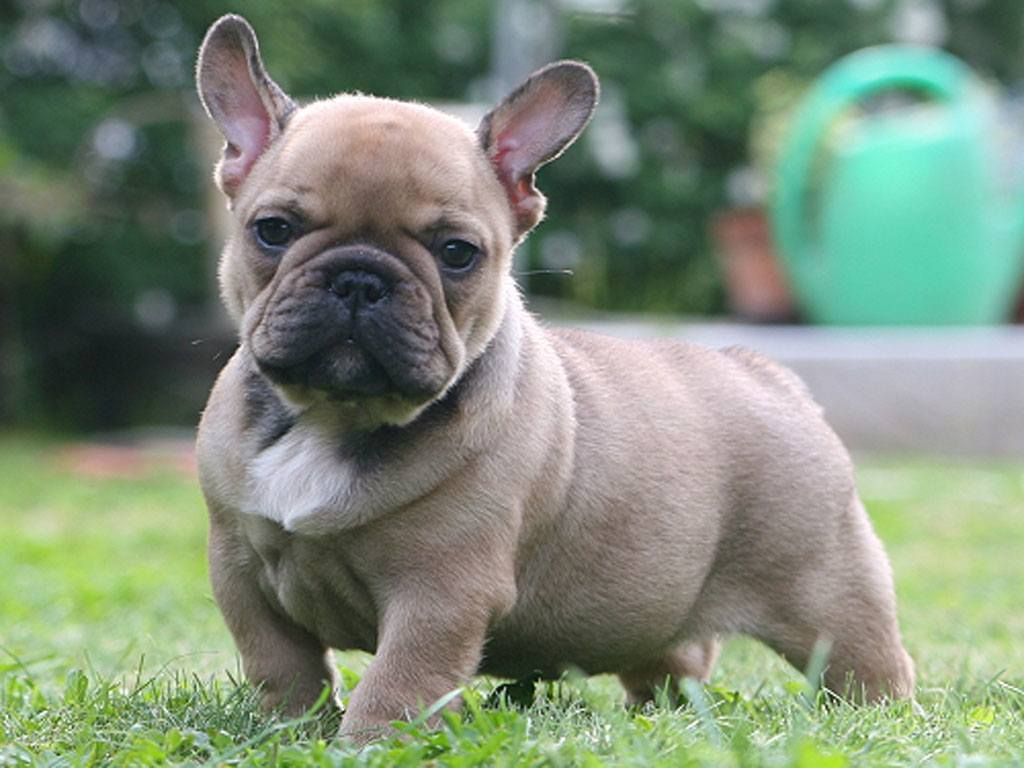 French Bulldog Puppy Pictures And Information