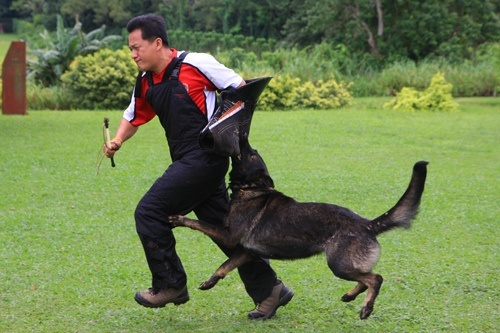 german_shepherd_training