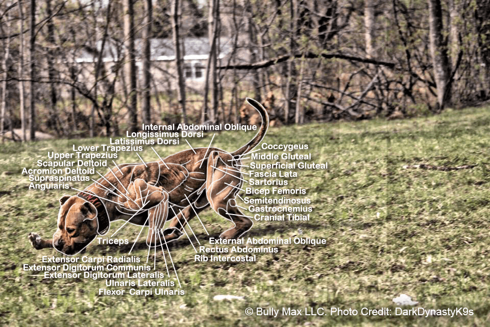 The Muscle Anatomy Of Dogs Everything You Need To Know
