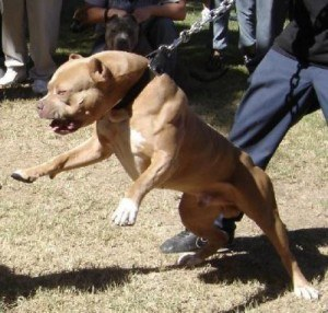 Muscular American Bully Pit Bull Stud Dog