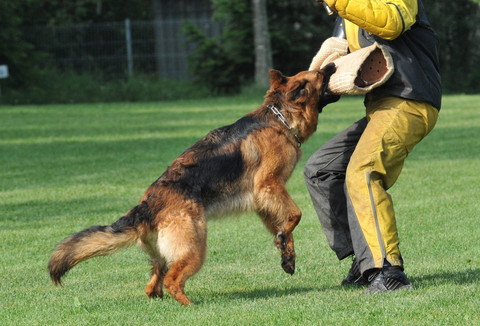 German Shepherd Rescue Dogs - A great protection and guard dog -