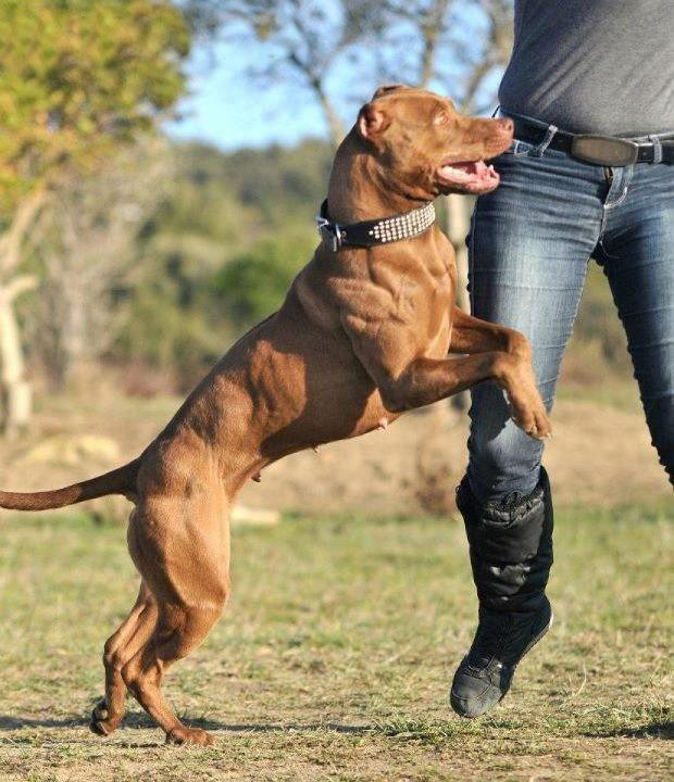 Game Bred Red Nose Pit Bull