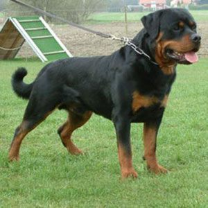 Rottweiler Supplements That Build Muscle