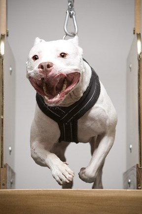 How To Build Muscle In Pitbull Dogs With Dog Sports