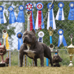 ukc_grand_champion_show_dog
