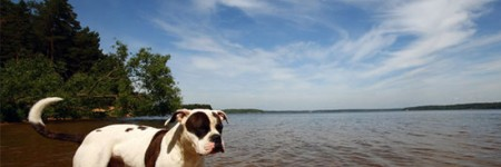 Heat stroke in dogs – Help Your Bully Beat the Heat