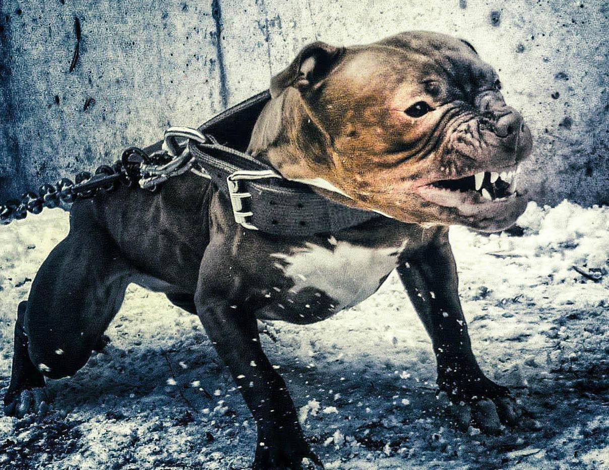 Pit bulls – The Most Feared and Misunderstood Dog Breed
