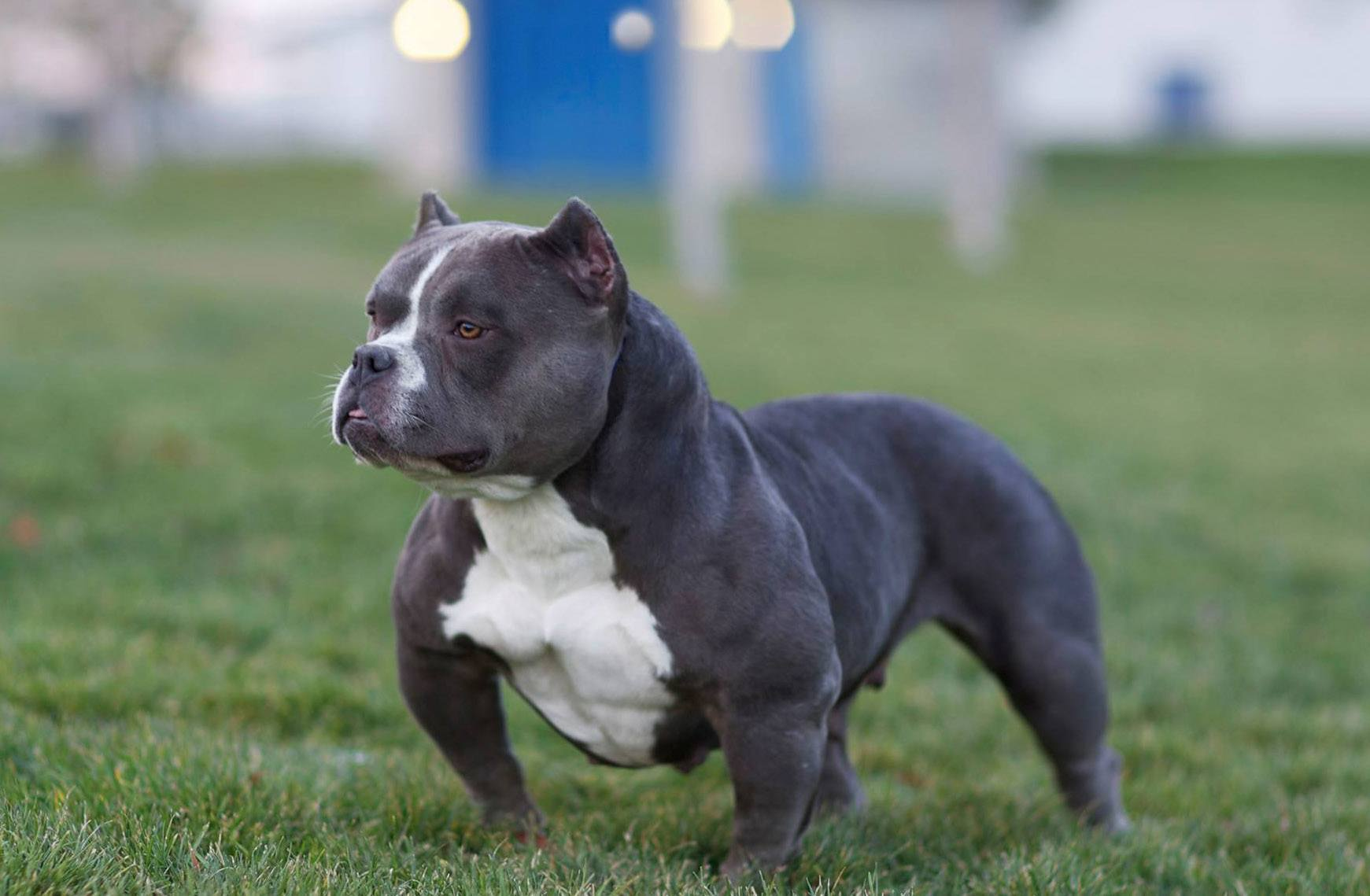 american pit bull terriers the incredibly American pit bull terrier puppies for sale, american pit bull terrier dogs for adoption and american pit bull terrier dog breeders find the perfect american pit bull terrier puppy at puppyfindcom.