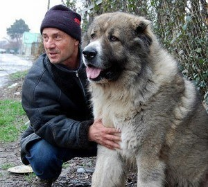 The Caucasian Ovcharka is commonly used as a Russian Prison guard dog ...