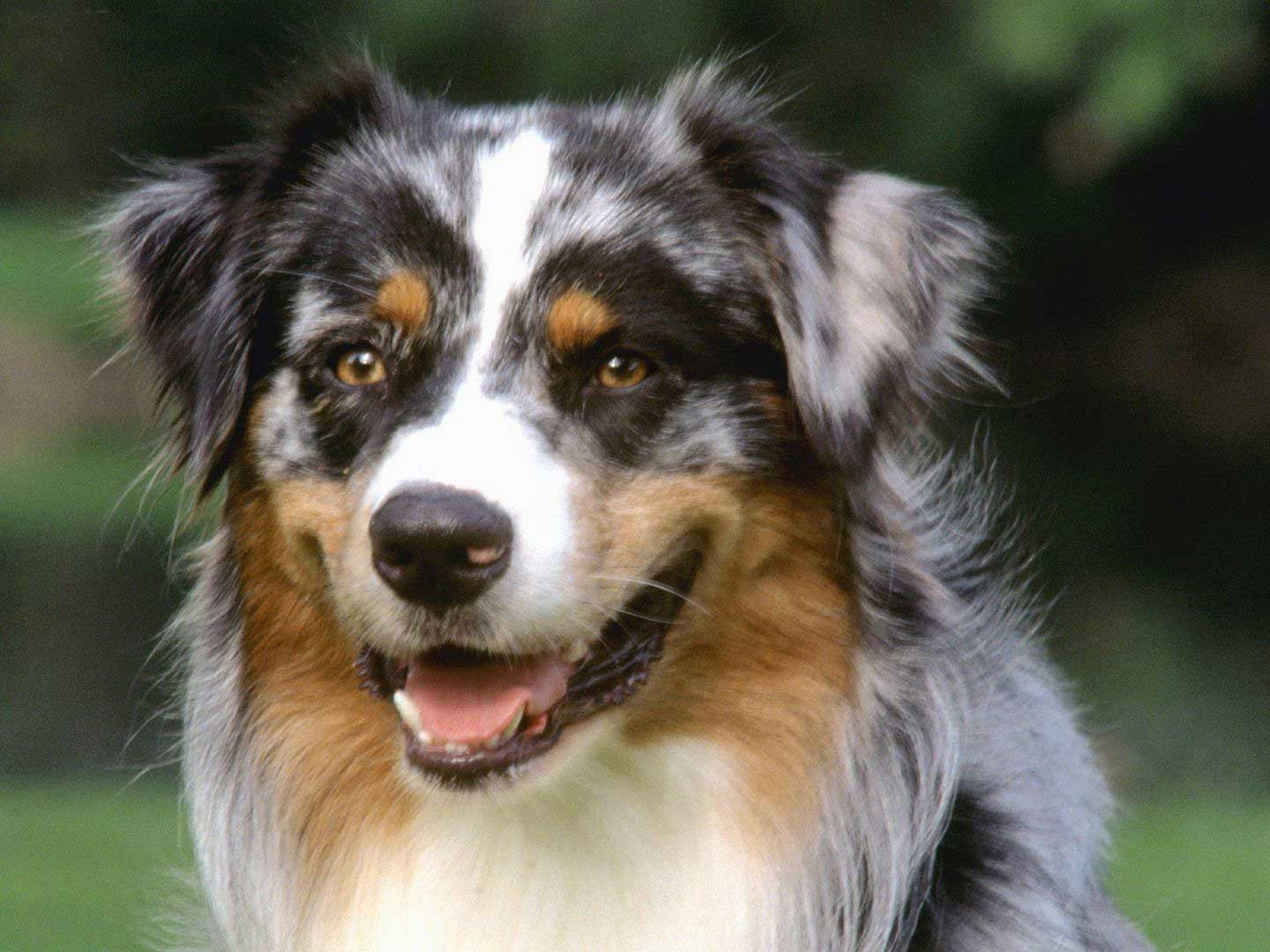 Easy To Train Dog Breeds - | Easiest Dog Breeds To Train