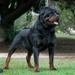 muscular rottweiler stud dog