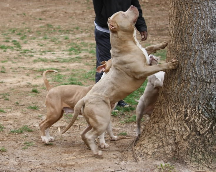 American Bully Pit Bull Dogs
