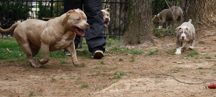 american bully pitbull pictures