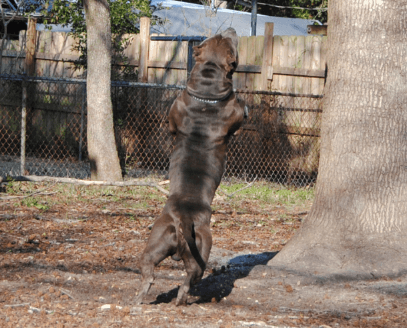 Training your American Bully