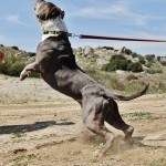 building muscle in pitbull dogs