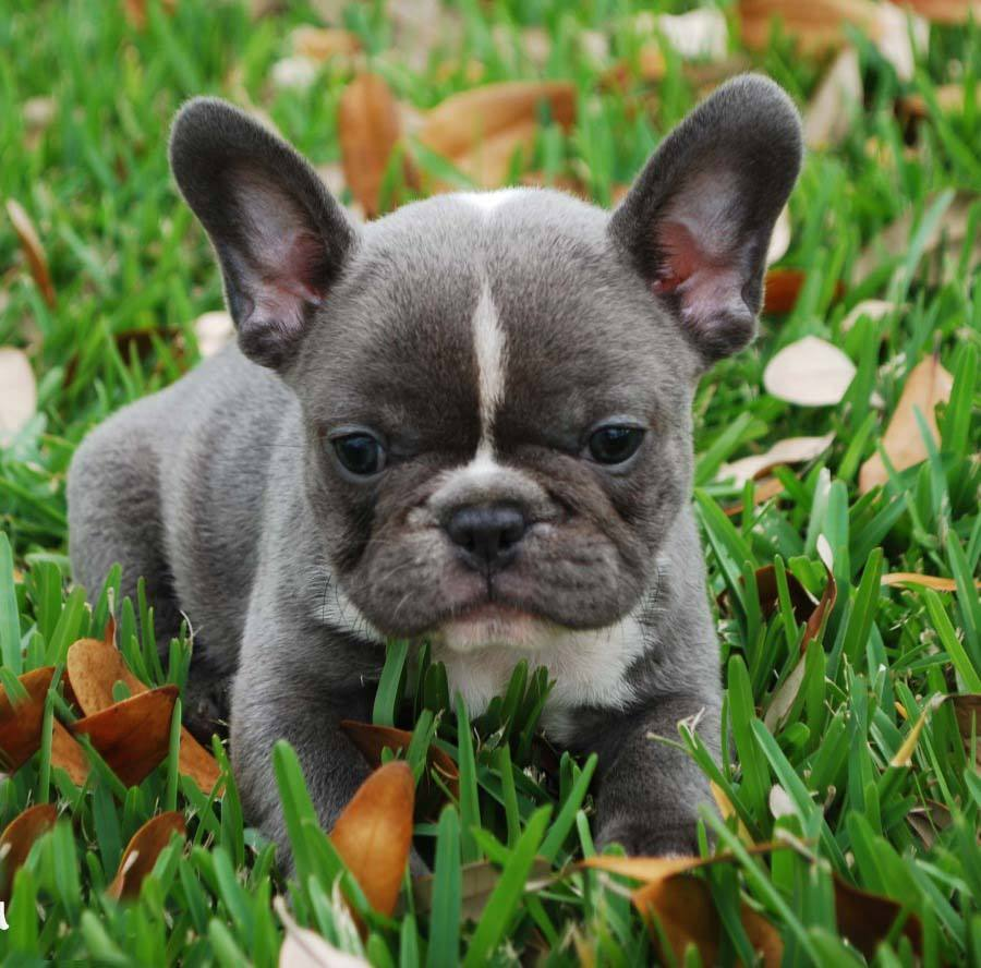 French bulldog puppies - photo#10